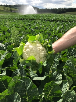 2017 Cauliflower harvest begins